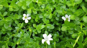 Bacopa monnieri (Bhrahmi) - Herb of Grace