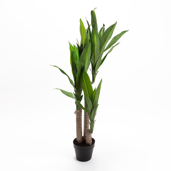 Dracaena Dragon Tree