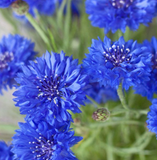 Cornflower Power Seedbom
