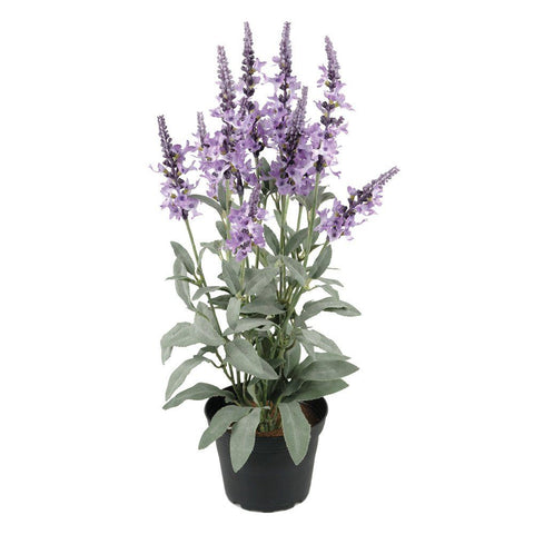 Veronica In Pot- Purple