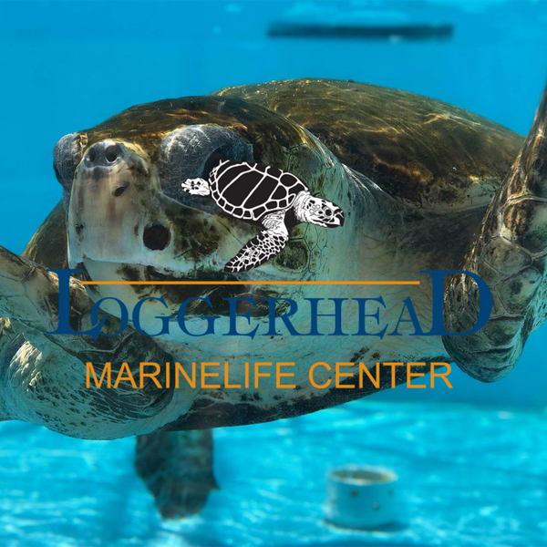 Loggerhead sea turtle under water from loggerhead marinelife center