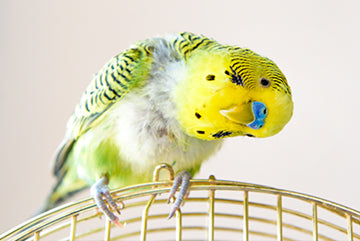3 Ways to Take Care of a Bird That is Moulting