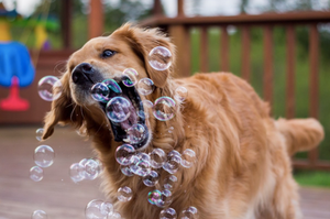 Top 10 Funniest Golden Retriever Pics