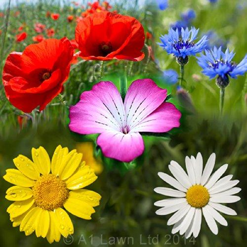 A1LAWN 100% Cornfield High Colour Wildflower Seed Mix - 500g - Containing: Cornflower, Corn Marigold, Corn Cockle, Corn Chamomile, Corn Poppy