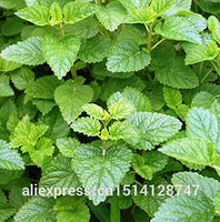 Foliage plant seeds Mentha citrata, herbal lemon balm, lemon mint seeds,about 30 particles