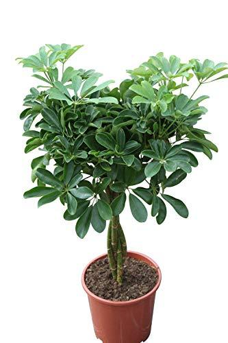 Indoor Plant -Schefflera Green - Green Umbrella Plant approx 120cm Tall With Braided Stem