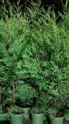 LOT OF 10 GREEN LEYLANDII HEDGING GREEN CONIFER APPROX 80-100CM TALL