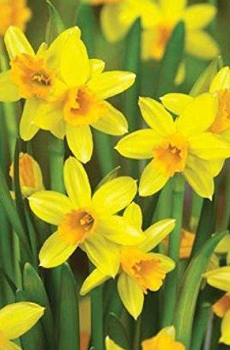 """ Tete a Tete "" Narcissi - Spring Flowering Dwarf Rockery Bulbs - Available in Packs of 50 & 100 - Free UK P & P (50)"