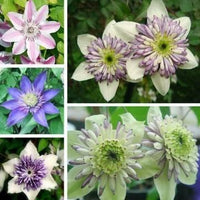 UR Gardening Seeds 50pcs Mixed Color Clematis Florida Seeds Garden Herbaceous Climber Plant