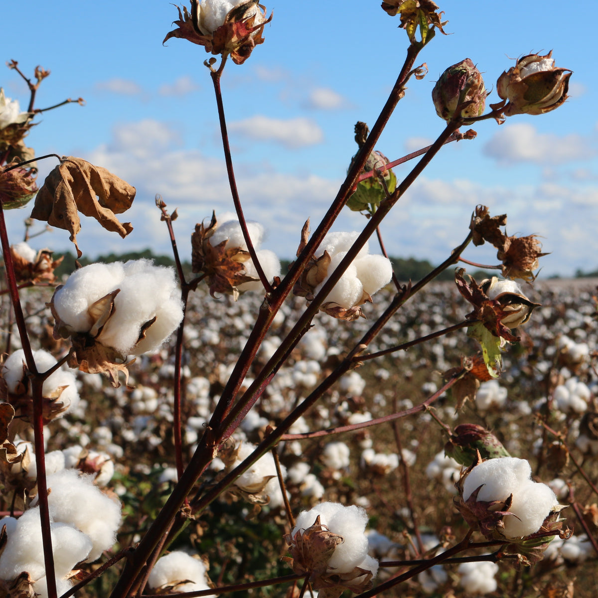 Is it really Egyptian cotton in your sheets? The Dishonesty of the Egyptian Cotton Industry