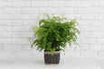 Maidenhair fern + Basket