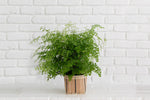 "6"" Maidenhair Fern + Basket"