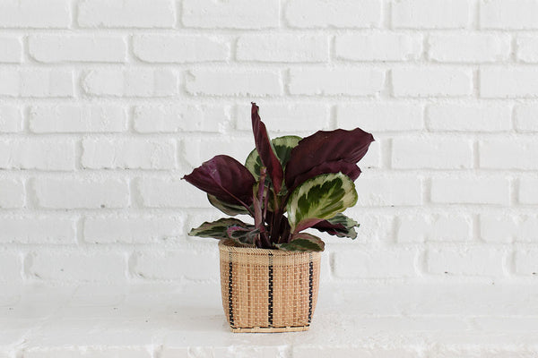 Prayer Plant (Calathea Sanguinea) + Basket