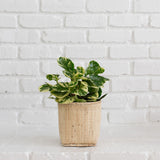 "6"" Marble Peperomia + Basket"