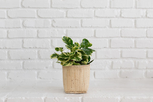 Marble Peperomia + Basket