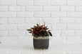 Peperomia Rosso + Basket