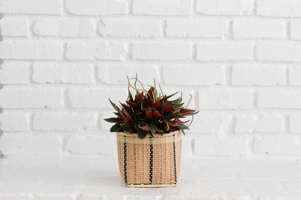 "6"" Peperomia Rosso + Basket"
