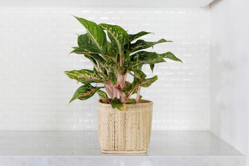 "6"" Chinese Evergreen + Basket"