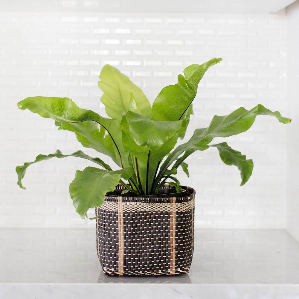 "6"" Bird's Nest Fern + Basket"