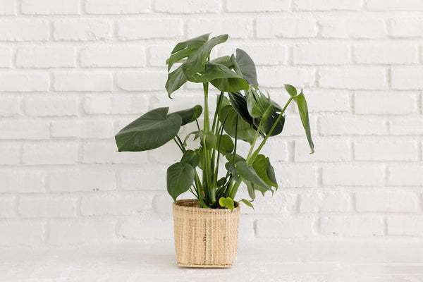 Monstera Split Leaf + Basket