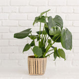 "6"" Monstera Split Leaf + Basket"