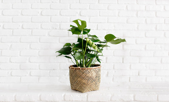 Monstera Split + Bamboo Basket Planter