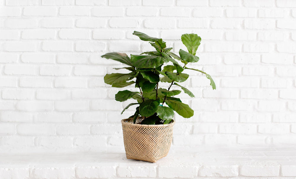 "8"" Fiddle Leaf Fig Tree + Bamboo Basket"