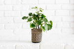 "4"" Shield Aralia + Basket"