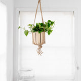 "6"" Golden Pothos + Hanging basket"