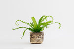 "4"" Bird's Nest Fern + Basket"