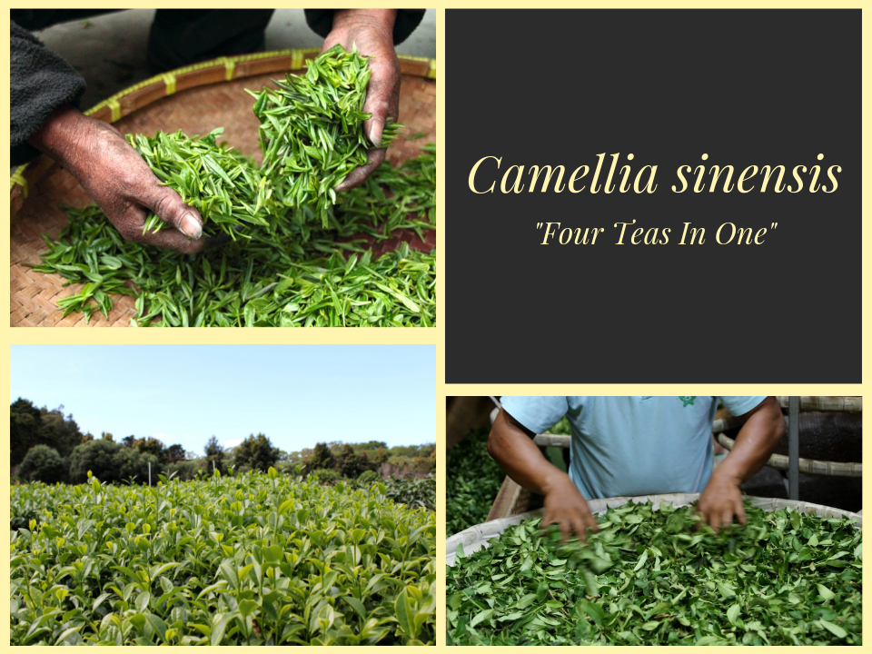 Camellia Sinensis - Four Teas in One