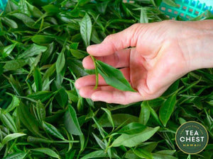 A'a Black Tea leaves on Eliah Halpenny and Dr. Cam Muir's farm on Big Island - teachest.com