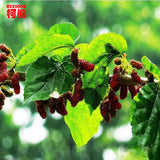 Top Grade 100% Purely Natural Organic Folium Mori Extract Powder Mulberry Powder