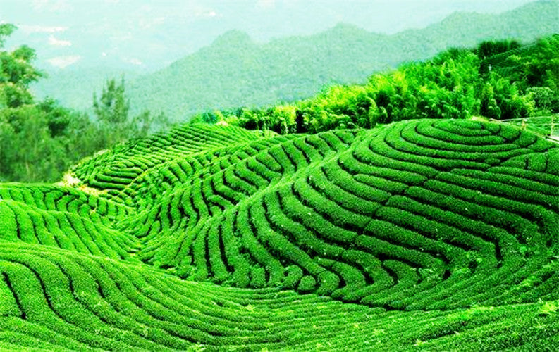 250g Green Tea Organic Early Spring Huangshan Maofeng Tea Health Care China Tea