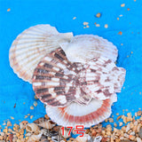 XBJ045 Conch shells starfish coral reefs small yellow rice snail shell seascape natural micro landscape ornaments