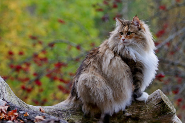 Crazy Facts About the Large, Fluffy Norwegian Forest Cat
