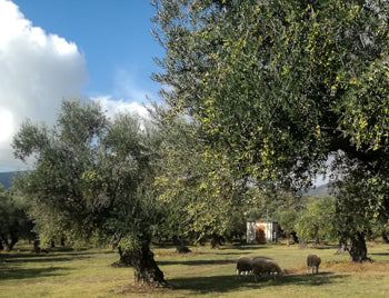 Olive grove with animals