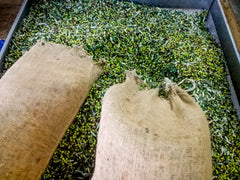 Olive sacks being emptied