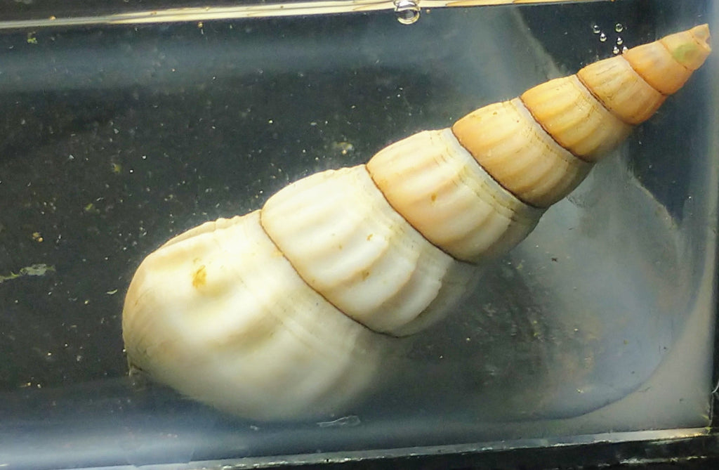 White Hercules (Rabbit Snail)