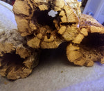 "6"" Teddy Bear Thick Cholla wood"