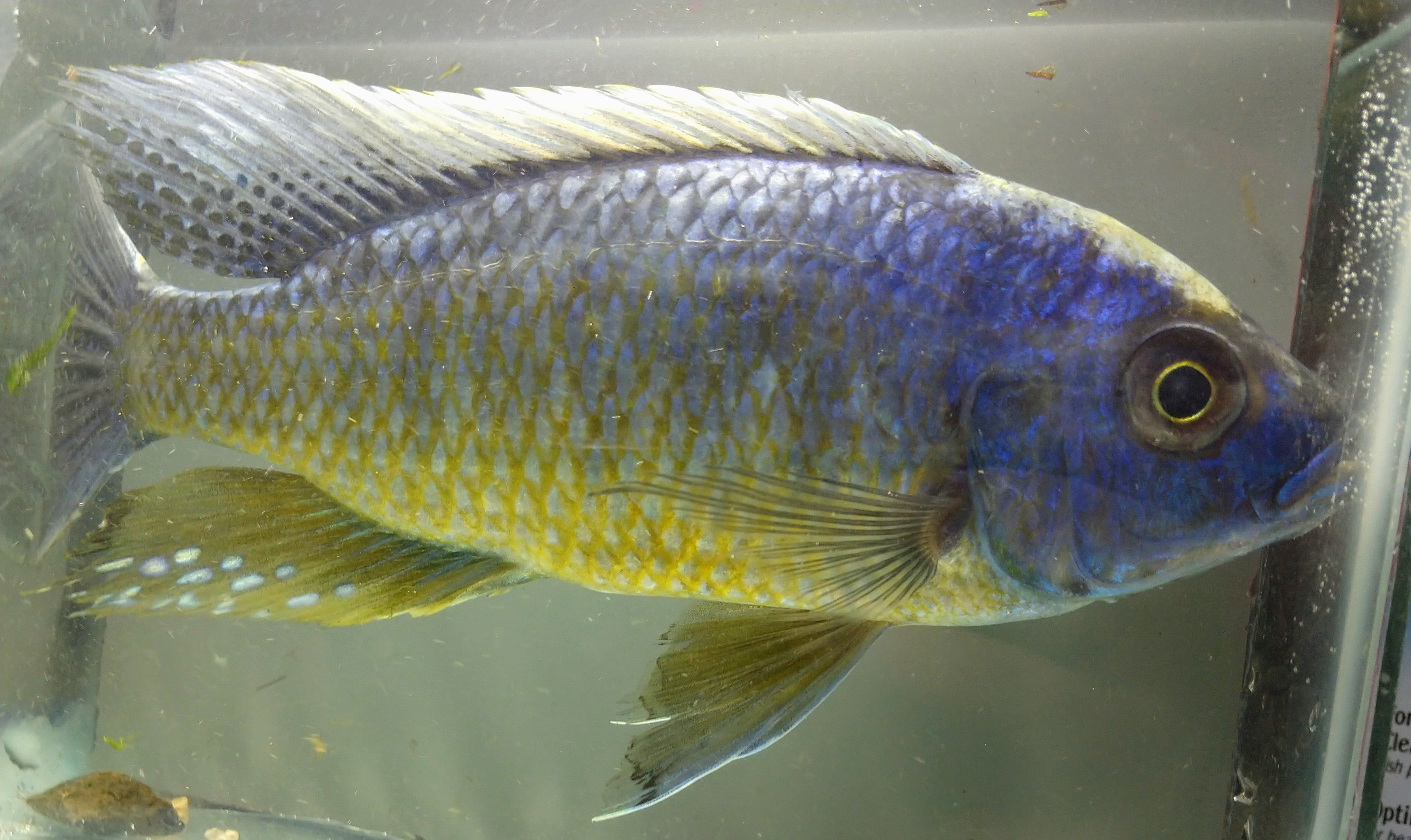 "6""+ Protomelas Insignus 'Yellow Belly' Male"