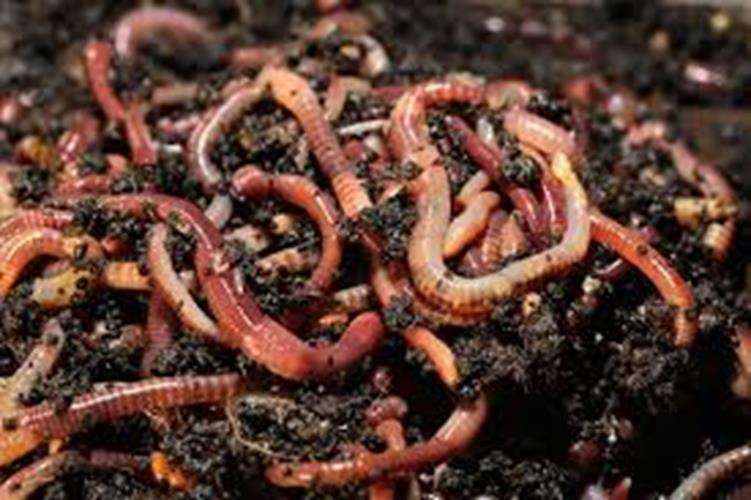 "Red ""Wiggler""  worm"