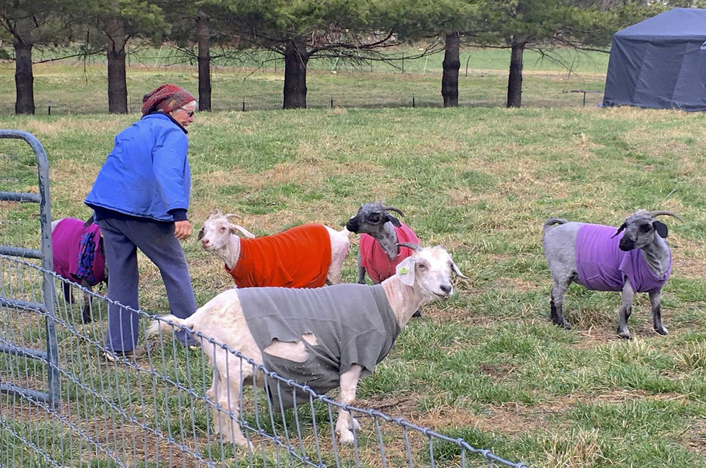 Goats in Coats !