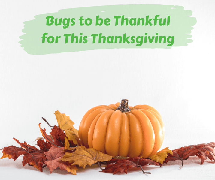Bugs to be Thankful for This Thanksgiving