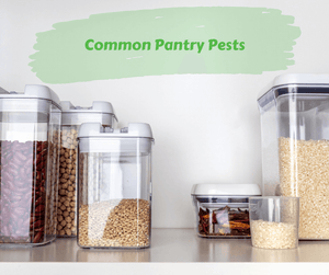 Common Pantry Pests