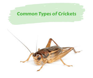 Common Types of Crickets
