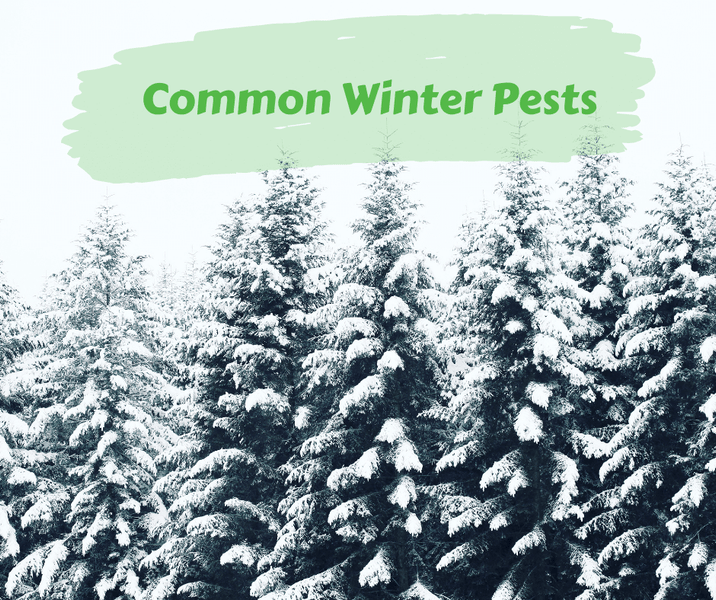 Common Winter Pests