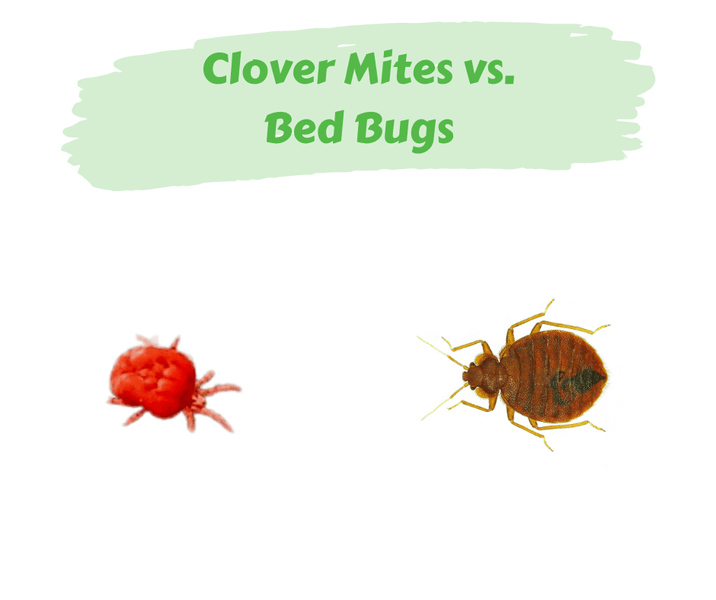 Clover Mites vs. Bed Bugs