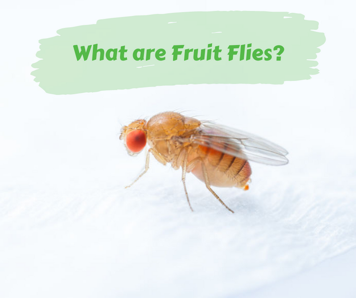 What are Fruit Flies?