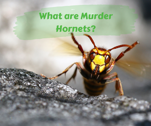 What are Murder Hornets?